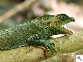Lyriocephalus-scutatus