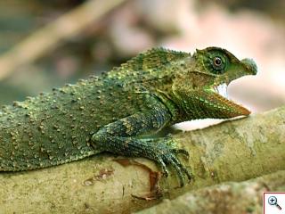 Lyriocephalus scutatus