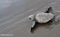 żółw morski