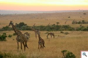 zyrafy-Mara